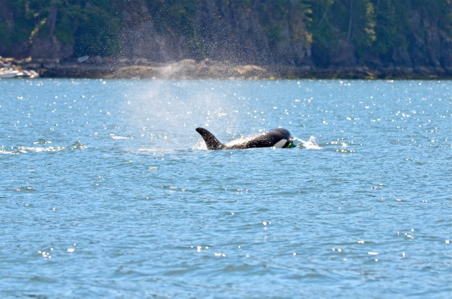 Transient Orcas In Howe Sound Sewell S Marina
